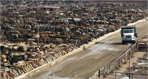 meat, feed lot in in California